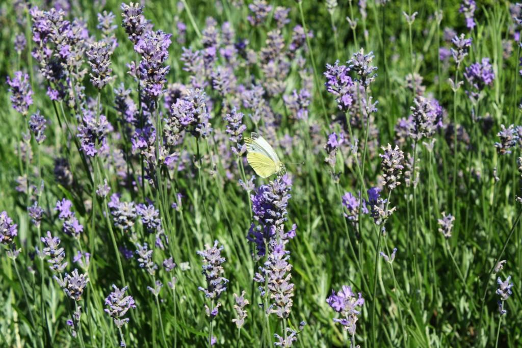 Lavendel mit Zitronenfalter im Garten 23 des Martin-Luther-Pfarrbezirks Paderborn.FOTO: HEIDE WELSLAU
